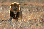 Africa, South Africa, Kwandwe. A male lion backlit in the South African game reserve of Kwandwe.