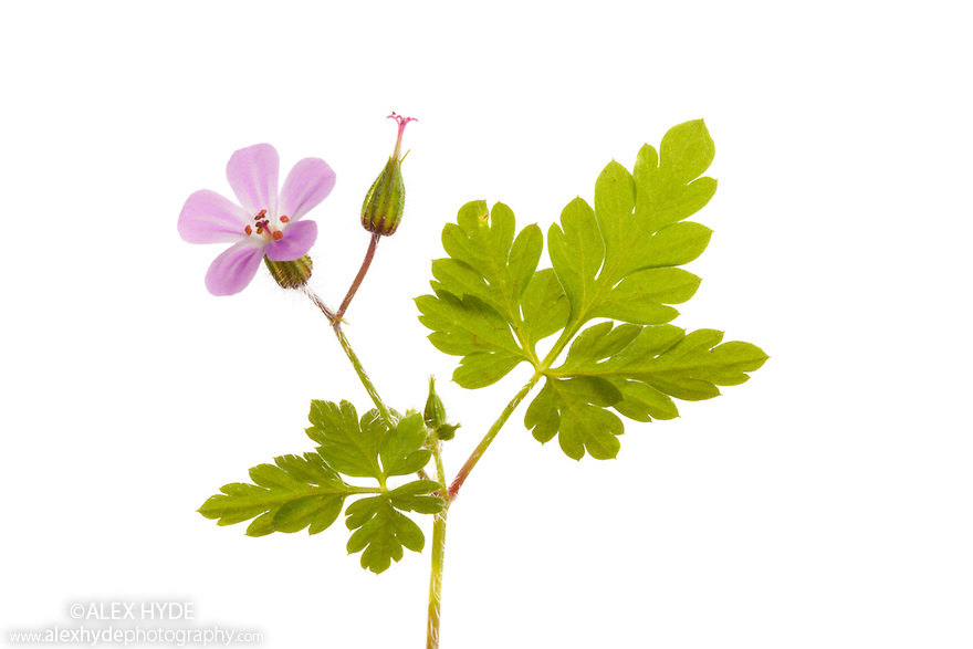 Herb Robert Geranium Robertianum Alex Hyde