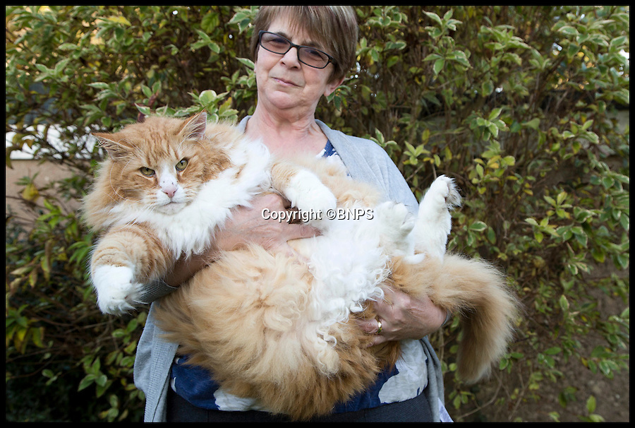 BNPS.co.uk (01202 558833)<br /> Pic: LauraDale/BNPS<br /> <br /> Ulric and his owner Jan in their garden in Dorchester.<br /> <br /> Britain's fattest cat has now got a doggy trainer to whip him into shape.<br /> <br /> Drill Sergeant Dennis the puppy has got Ulric the cat running, boxing and wrestling in a bid to fight the flab after dieting failed.<br /> <br /> The nine-year-old Norwegian Forest cat was declared morbidly obese by his vet last year when he tipped the scales at a whopping 2st 2lbs, the average weight of a three-year-old child and twice his normal weight.