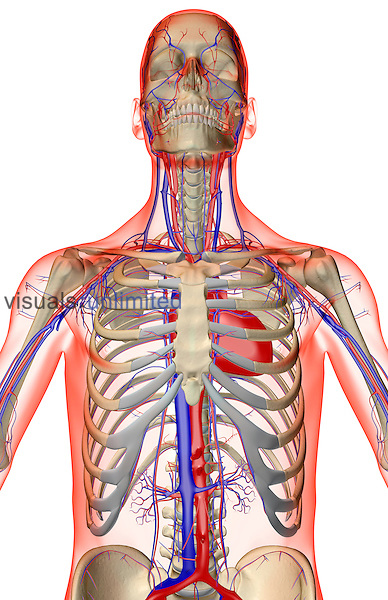 An anterior view of the blood supply of the upper body. The surface anatomy of the body is semi-transparent and tinted red. Royalty Free