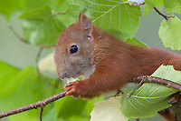 Europäisches Eichhörnchen, junges Eichhörnchen klettert in einem Haselnuss-Strauch und frisst eine unreife Haselnuss, Haselnuß, Nuss, Nuß, Sciurus vulgaris, European red squirrel, Eurasian red squirrel