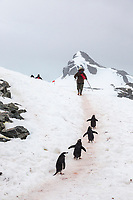 Chinstrap penguins on the shore of the South Orkney Islands, Antarctica