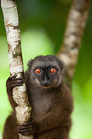 A female White Fronted Brown Lemur on the island reserve of Nosy Mangabe, Madagascar