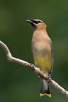 Cedar Waxwing (Bombycilla cedrorum), Swift River Reservation, Petersham, Massachusetts
