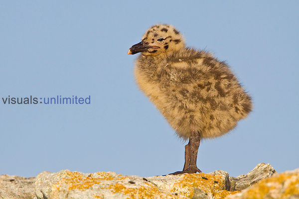 Glaucous-winged Gull chick (Larus glaucescens) perched on a rock in Victoria, British Columbia, Canada.