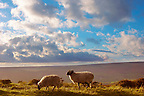 Moors sheep on Blakey Ridge, North Yorkshire Moors National Park, England.