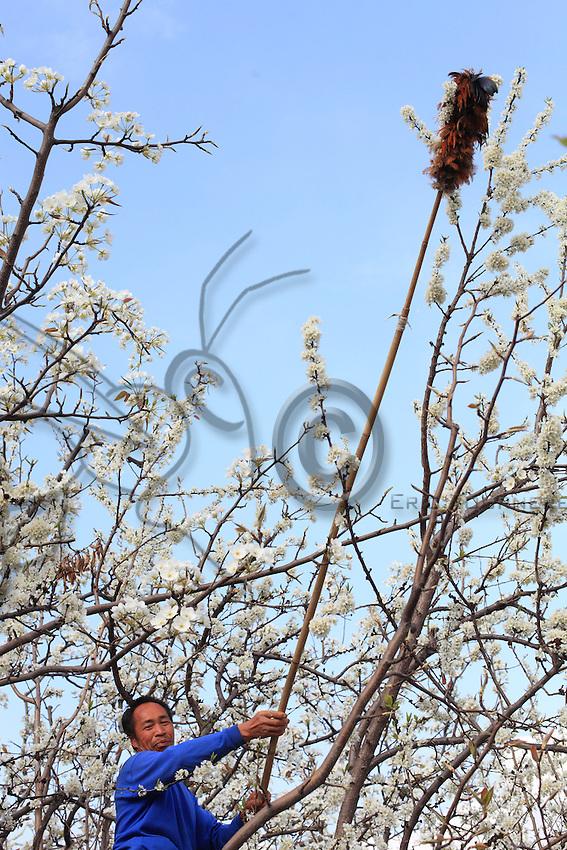 Certains n'aiment pas monter aux branches préfèrent les longues cannes ornées de plumes de poulets pour polliniser les fleurs.///Some do not like climbing the trees and prefer the long canes adorned with chicken feathers for pollinating the flowers.
