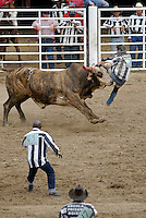 USA. Angola. 20th April 2008.A bull flips a prisoner during 'Guts and Glory', the last and most dangerous part of the rodeo. Prisoners have to grab a poker chip tied to the Bull's forehead..©Andrew Testa