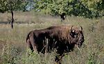 TOPOLCIANKY - Het gaat goed met de Europese bizon. Met name de laatste tijd worden er in de diverse reservaten in Polen, Wit-Rusland en Slowakije veel kalfjes geboren. Enkele decennia terug was de Europese bizon bijna uitgestorven en leefden er nog maar 50 dieren in met name de Oost-Europese landen. Op dit moment zijn dat er al ruim 1500. Bovendien proberen ook andere Europese landen, als Duitsland en Nederland, bizons een nieuw kans te geven in natuurgebieden. Foto: Bizons in het 27 hectare grote reservaat in Topolcianky (Slowakije).