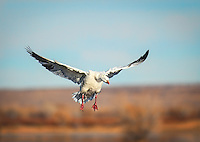 Ross' Goose coming in for a landing with wings outstretched
