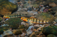 Gilt Darters<br />