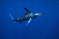 qf0779-D. Striped Marlin (Tetrapturus audax). Baja, Mexico, Pacific Ocean..Photo Copyright © Brandon Cole. All rights reserved worldwide.  www.brandoncole.com..This photo is NOT free. It is NOT in the public domain. This photo is a Copyrighted Work, registered with the US Copyright Office. .Rights to reproduction of photograph granted only upon payment in full of agreed upon licensing fee. Any use of this photo prior to such payment is an infringement of copyright and punishable by fines up to  $150,000 USD...Brandon Cole.MARINE PHOTOGRAPHY.http://www.brandoncole.com.email: brandoncole@msn.com.4917 N. Boeing Rd..Spokane Valley, WA  99206  USA.tel: 509-535-3489