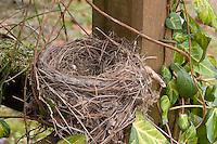 Nest einer Amsel, Schwarzdrossel, Schwarz - Drossel, Turdus merula, Blackbird, Merle noir