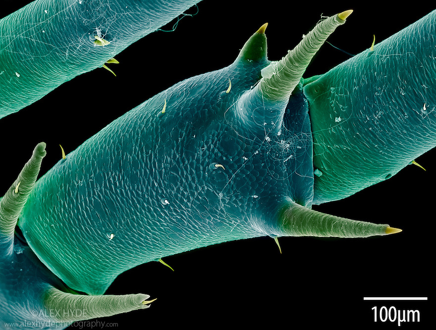 Spines on leg joint of Harvestman {Megabunus diadema}. False coloured scanning electron micrograph (SEM), x146 magnification when image printed at 10cm across.