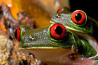 A pair of mating red-eyed tree frogs (Agalychnis callidryas), Costa Rica