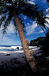 Robber or coconut crabs climbs palmtree<br /> Birgus latro