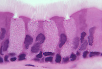 Goblet cells and ciliated columnar epithelium. LM