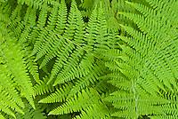 Dennstaediana punctiloba  (Hay-scented Fern) Hay-scented fern Dennstaedtia punctilobula