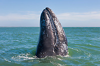 Gray Whale spy hops off the baja peninsula, pacific ocean, Mexico.