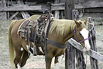 A horse waiting for his rider greifenhagen 265-1124 c