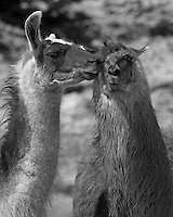 The llama (Lama glama) is a South American camelid..Seen here in a display of affection.