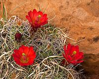 Capitol Reef National Park, UT<br /> Claret Cup Cactus (Echinocereus triglochidiatus) in bloom on the Fremont River Trail