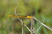 337850032 a wild female painted damsel hesperagrion heterodoxum perches on a dead plant stem at empire creek las cienegas natural conservation area pima county arizona