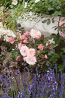 Rosa 'Nice Day' = 'Chewsea' (Climbing pink miniature roses) + Heuchera 'Palace Purple' flowers &amp; Lavandula angustifolia 'Hidcote' growing together in garden
