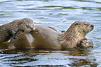 Northern River Otter (Lontra canadensis) mother with two of her pups.  Western U.S., summer..