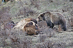 A grizzly bear, Ursus arctos horribilis, sniffs a dead bison, prior to feeding on its carcass, in Yellowstone National Park, Wyoming.