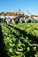 Agriculture - Field workers harvest a mature crop of Romaine lettuce / Salinas Valley, California, USA.