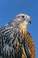5407503010 portrait of a captive adult gyrfalcon falco rusticolis in the western united states