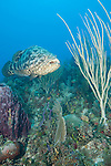 Gardens of the Queen, Cuba; a Goliath Grouper swimming between a large purple barrel sponge and a tall, yellow sea rod on the coral reef
