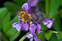 Frühe Langhornbiene, Mai-Langhornbiene, Männchen, Eucera nigrescens, Eucera tuberculata, Scarce Long-Horned Bee, male