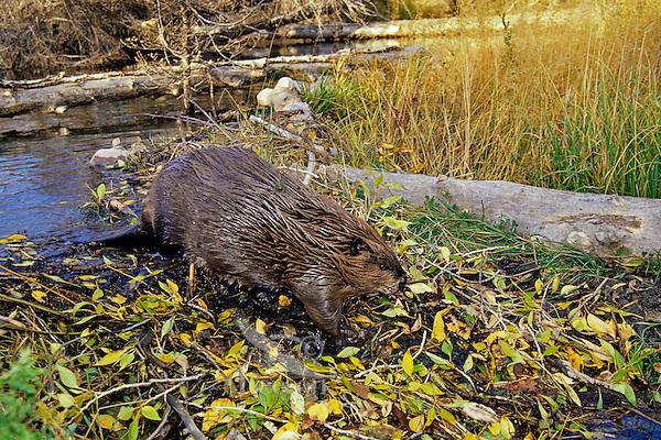North American Beaver (Castor canadensis) walking down across face of dam.  Western U.S., fall.