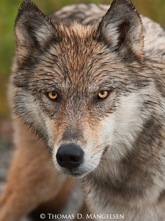 The penetrating yellow eyes of a gray wolf are captured in a portrait while it stands in Denali National Park, Alaska.