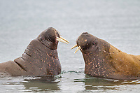 Two young male walrus face off in the water, Svalbard
