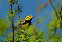 591400029 a wild male black-throated green warbler setophaga virens songbird on south padre island texas united states