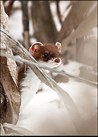 BNPS.co.uk (01202 558833)<br /> Pic: AdamTatlow/BNPS<br /> <br /> Elusive Stoat in winter.<br /> <br /> Cotswold gamekeeper shoots amazing pictures of British wildlife - without the aid of long lenses and elaborate techniques.<br /> <br /> The incredible photos may look like they have been shot from miles away - but amazingly Adam Tatlow is actually just feet away from his wild subjects.<br /> <br /> The 46-year-old's affinity with nature has allowed him to get up close and personal with some of the UK's most endearing wildlife.<br /> <br /> Adam's trusty camera is never far from his side as he goes about his work as a gamekeeper on an estate in the Cotswolds countryside.<br /> <br /> He has built up a stunning portfolio of snaps that lift the lid on rarely-seen birds and animals found in forests throughout the country.<br /> <br /> Adam's subjects have included timid fox cubs, bounding hares, inquisitive hedgehogs and colourful kingfishers.<br /> <br /> He is so at one with nature that he knows how to call animals to him, and often gets within 30ft of them.