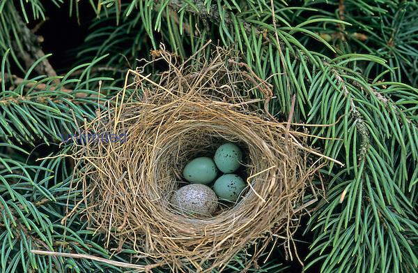 Cowbird egg in Chipping Sparrow nest, Social Parasitism.