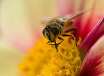 Bee extracting pollen from flower at Buchart Gardens in Victoria, BC, Canada