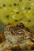 Female Italian Agile Frog (Rana latastei) underwater with eggs, Italy.