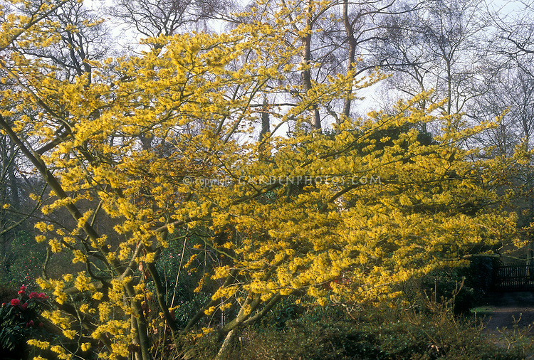 Hamamelis mollis Boskoop | Plant & Flower Stock Photography ...