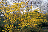 Hamamelis mollis Boskoop in bloom