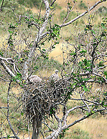 REDTAIL HAWK CHICKS IN NEST