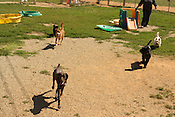 May 26, 2010. Durham, North Carolina..Five dogs run toward the fence during Doggie Daycamp, at Sunny Acres pet boarding house. .