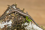 Leschenault's snake-eyed skink, Cryptoblepharus leschenault. Near Eraulo, Ermera District, Timor-Leste (East Timor)