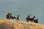 Mule Deer Buck with Does