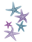 X-ray image of fuzzy sea stars (cool colors on white) by Jim Wehtje, specialist in x-ray art and design images.