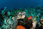 Hawksbill turtle (Eretmochelys imbricata) in the reef feeding on sponge